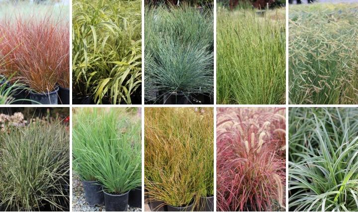 Devil mountain nursery for Variegated ornamental grass varieties